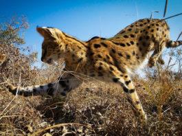 Planet Erde Big Cats