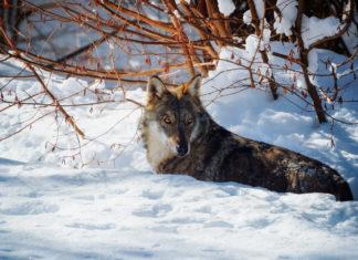 Wölfe in Italien