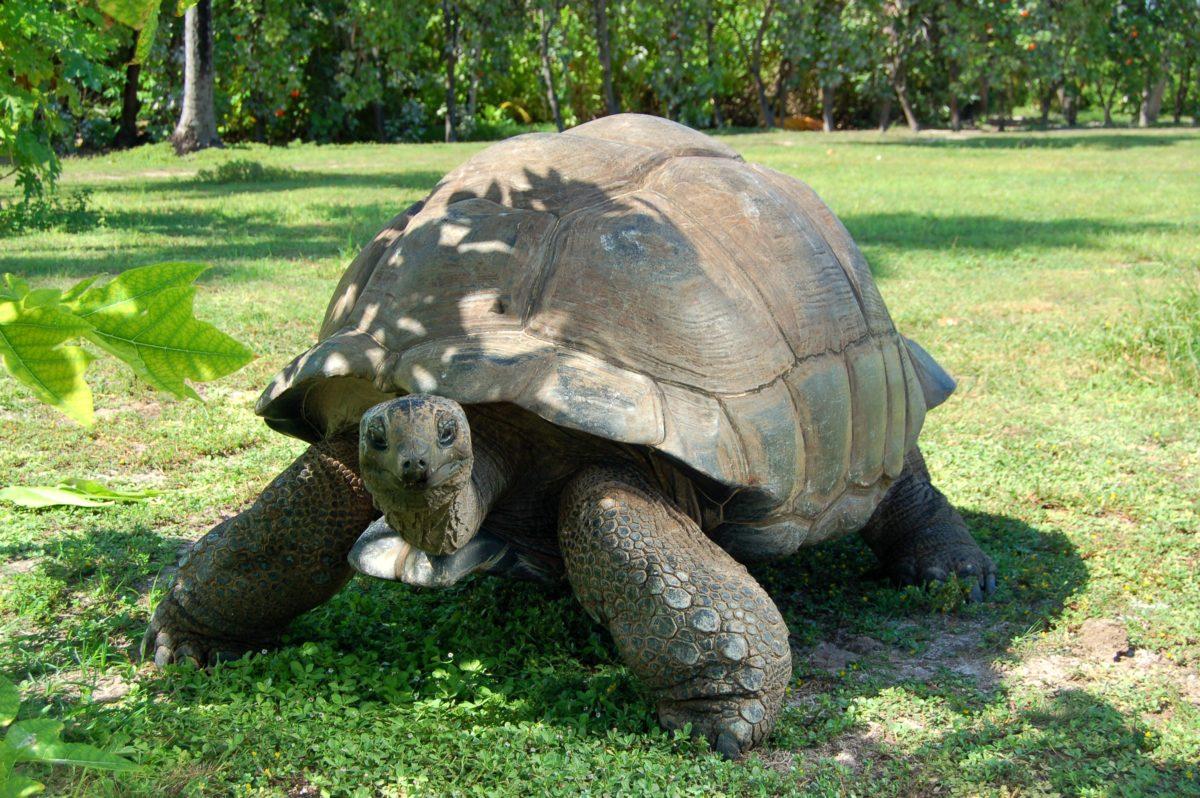 Auf den Seychellen fühlen sich neben Wasserschildkröten auch die beeindruckendenAldabraRiesenschildkrötenzuhause. Mehr als 150.000 Exemplare haben auf dem Archipel ihr Zuhause. / © Seychelles Tourism Board