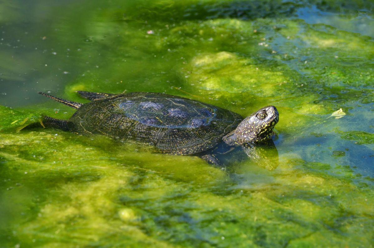 DieEuropäische Sumpfschildkröteist die einzige in Deutschland beheimatete Schildkrötenart. Sie ist nur maximal 20 Zentimeter gross und bis zu einem Kilo schwer. / Bild: pixabay
