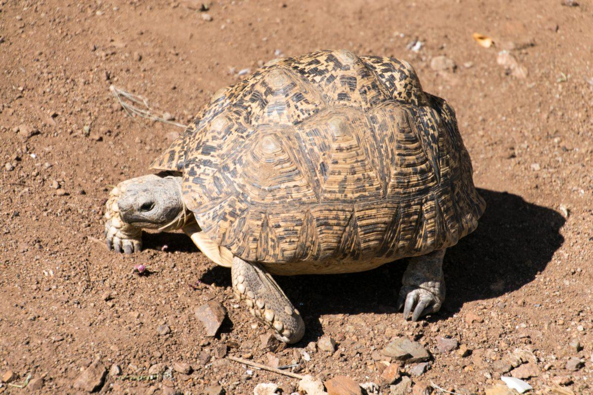 Selbst trockenes Klima verträgt diePantherschildkröte. Sie fühlt sich in den Halbwüsten und Savannen des östlichen Afrikas zuhause und kann eine Panzerlänge von bis zu 50 Zentimetern erlangen. / Bild: pixabay
