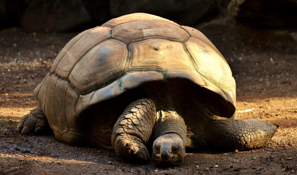 Als König unter den Schildkröten gilt dieGalapagos-Schildkröteauf dem gleichnamigen Archipel im Pazifik. Sie erreicht ein stolzes Gewicht von bis zu 400 Kilogramm. / Bild: pixabay