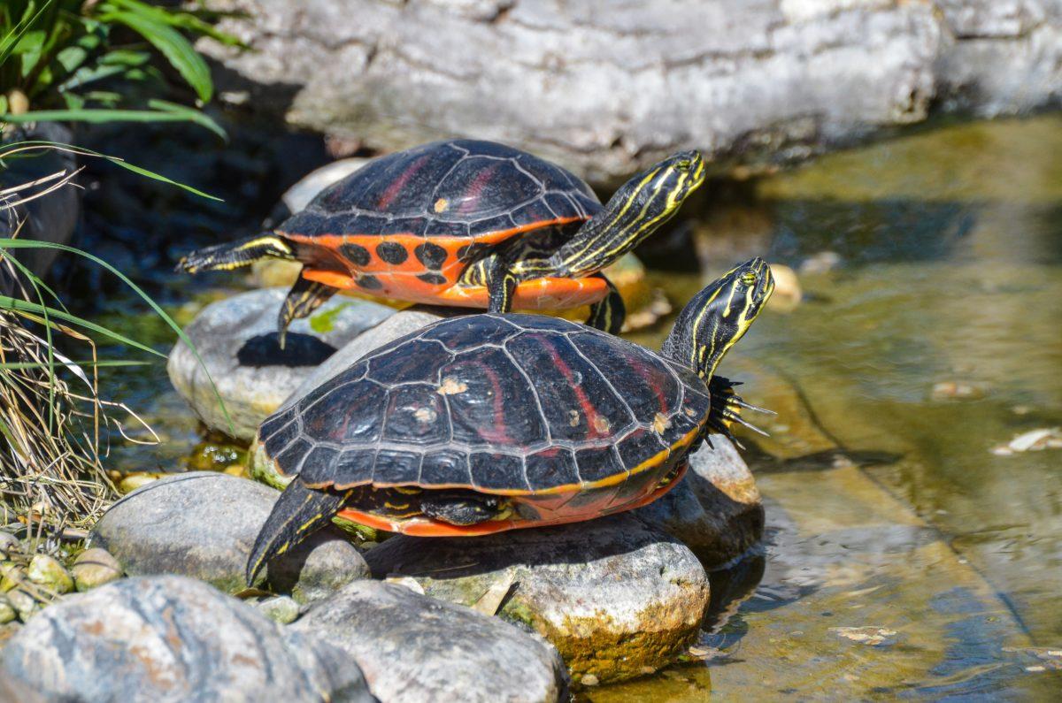DieFlorida-Rotbauch-Schmuckschildkrötenennt den Sonnenstaat im Südosten der USA ihr Zuhause. Neben Florida tritt sie auch in Georgia auf. Langsam fliessende Gewässer zählen ebenso zu ihrem Stammterritorium wie Sümpfe und Seen. / Bild: pixabay