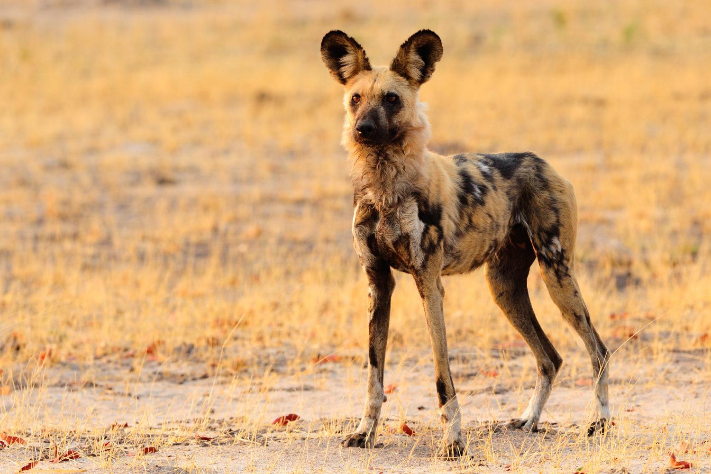 Madikwe hat eine grosse Wildhund-Population / Bild: shutterstock