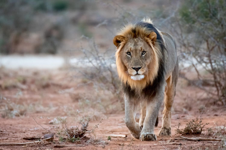 Besonders die Löwen fühlen sich hier sehr wohl / Bild: shutterstock