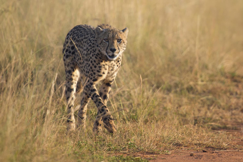 Viele Raubtiere kamen aus dem Etosha-Nationalpark (Namibia) sowie dem benachbarten Pilanesberg-Nationalpark. / Bild: shutterstock