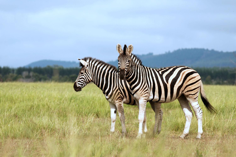 Zebras im Madikwe-Wildschutzgebiet / Bild: shutterstock