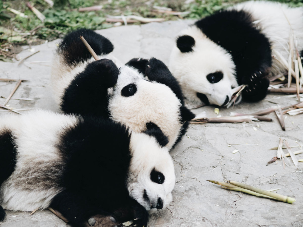 Die liebste Beschäftigung von Pandas: Essen und Schlafen / Sichuan, Wolong Pandas - Copyright Frauke Hameister