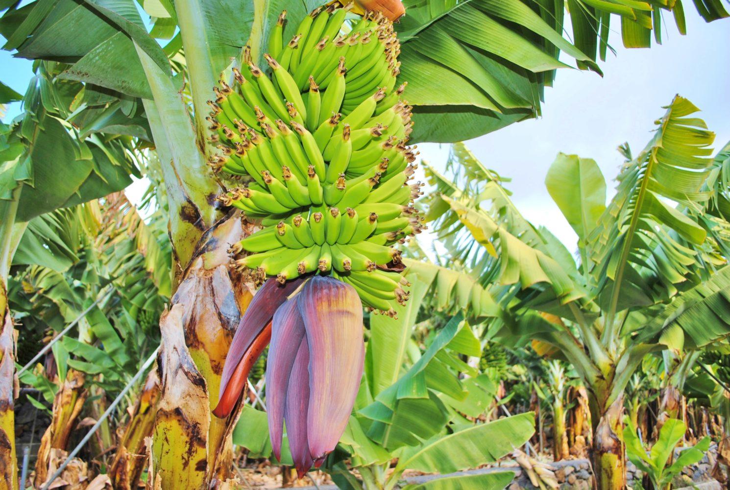 Bananen aus Spanien